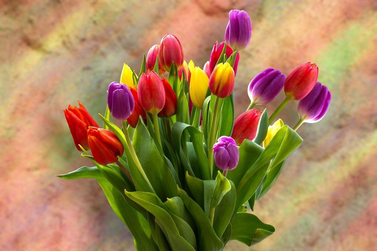 Mi jellemzi a tulipánt?